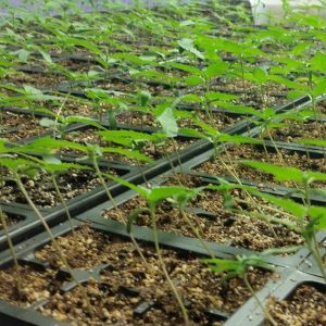 Hemp Clones Growing