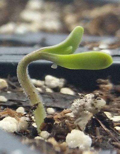 Baby Hemp Sprout