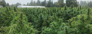 Green Buddha Hemp Farms